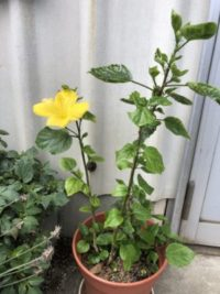 鉢植えハイビスカス