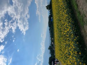 ひまわり畑